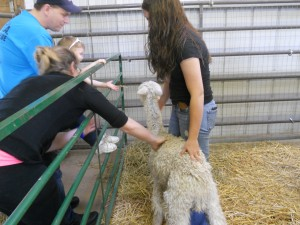 A little boy gets to pet one of the alpaca (adorable!)