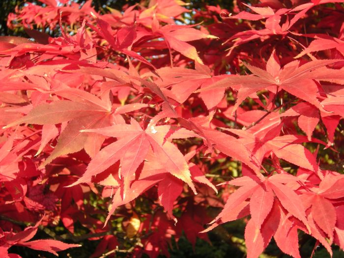 Our Japanese Maple tree seems more vibrant than ever this fall